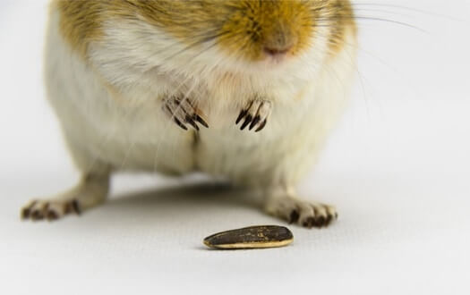 What Nuts are Safe for Gerbils?