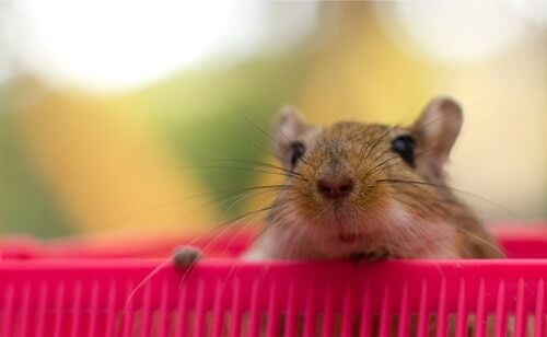What To Do If Your Gerbil Escaped