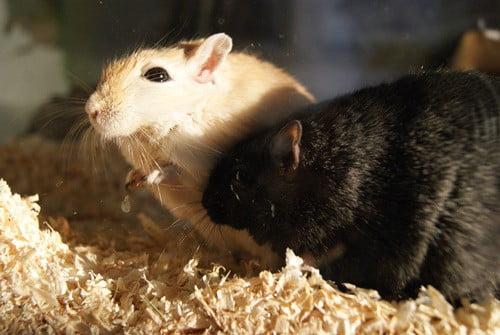 are female gerbils more aggressive than males?