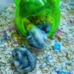 are my gerbils too fat?