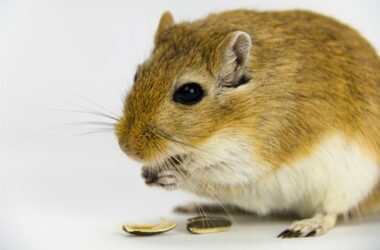 can gerbils eat nuts?