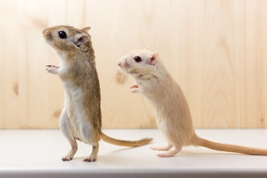 difference between male and female gerbils