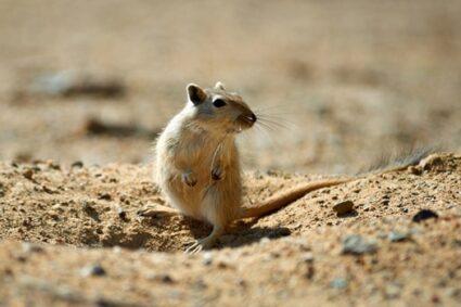do gerbils need dust baths?