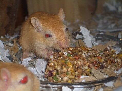 feeding gerbils nuts