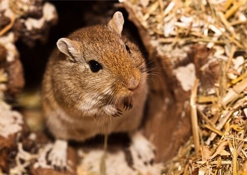 gerbil lost tip of tail