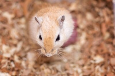 gerbil scent gland tumor appearance