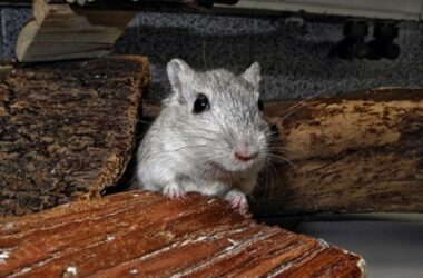 gerbil stress symptoms