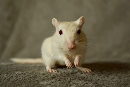 gerbil with red eyes