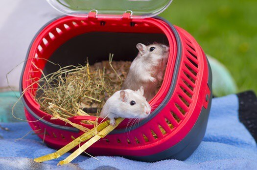 how much attention do gerbils need?