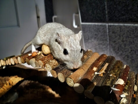 how often should you feed gerbils?