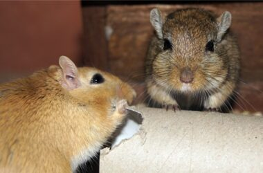 how to mate gerbils