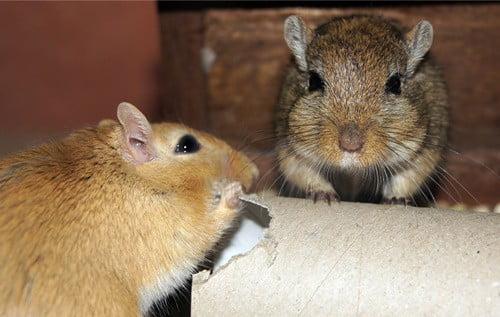how to mate gerbils