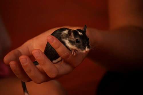 how to pick up a gerbil