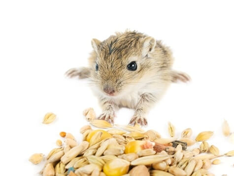 what do baby gerbils eat?