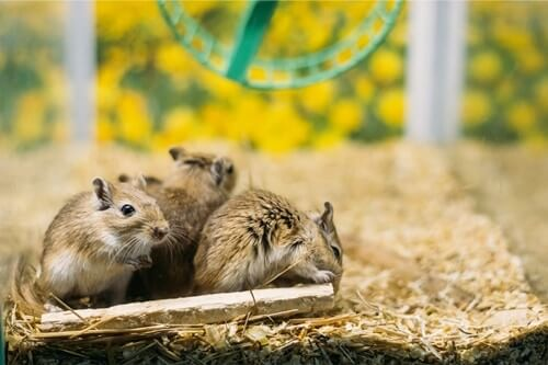 what do gerbils chew on?