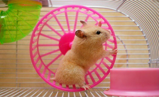 what's the difference between gerbils and hamsters