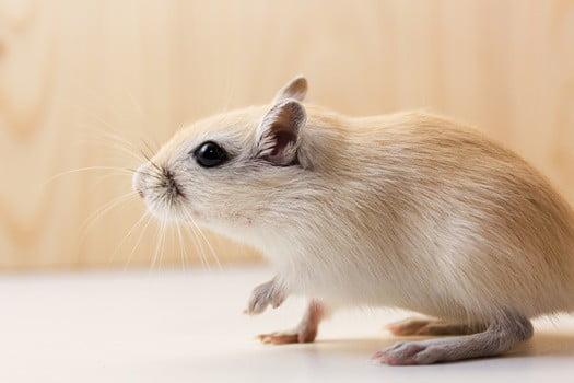 where do gerbils hide when they escape?