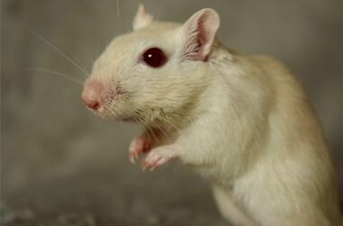 white gerbils with red eyes