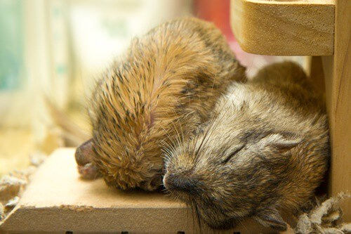 why do gerbils sleep so much?