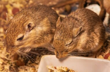 Does a Gerbil Hibernate in the Winter?