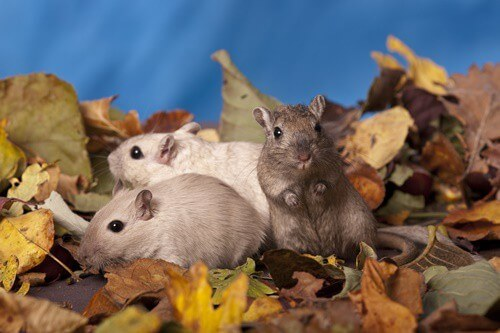 Signs of Dominance in Gerbils