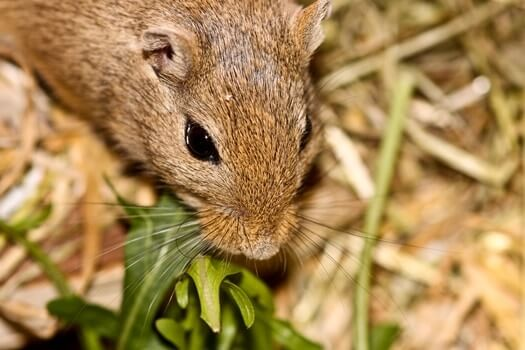 are carrots good for gerbils?
