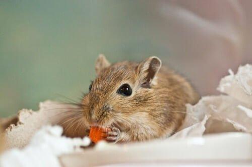 are gerbils and guinea pigs the same?