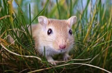 are pet gerbils illegal?
