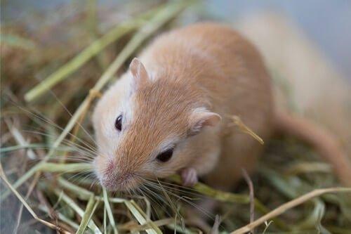 can gerbils eat poop?