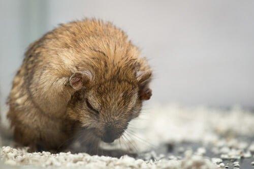 can gerbils get fleas?