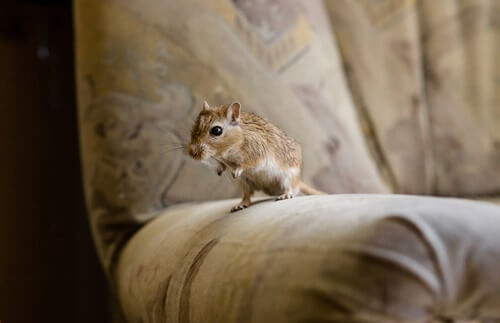 do gerbils know their owners?