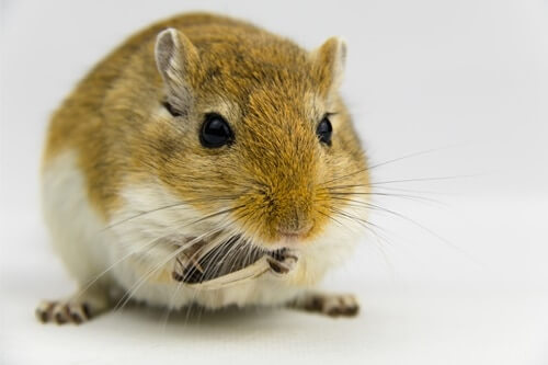 do gerbils love their owners?