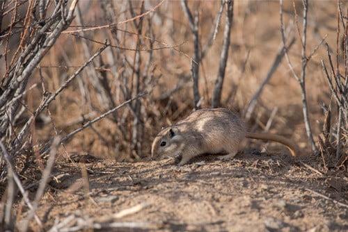facts about gerbils habitat