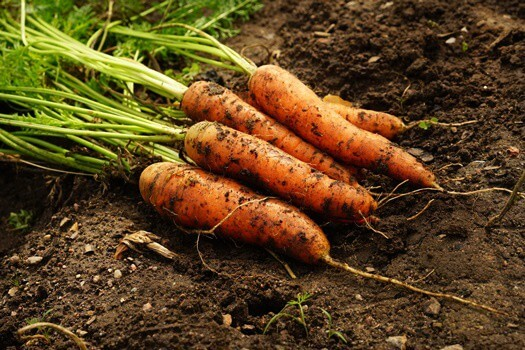 feeding gerbils carrots