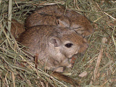 female gerbils trying to mate