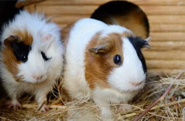 gerbil vs. guinea pig difference