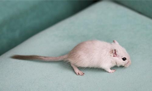 gerbil wet tail treatment