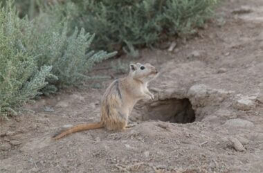 gerbils' native habitat