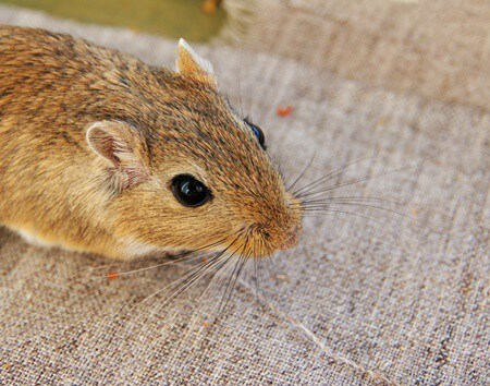 health benefits of blueberries for gerbils