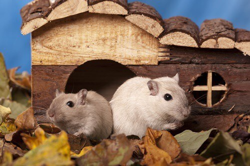 how can you tell if gerbils are playing or fighting?