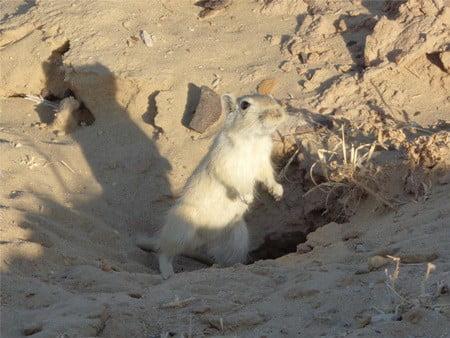 how do gerbils survive in the desert?
