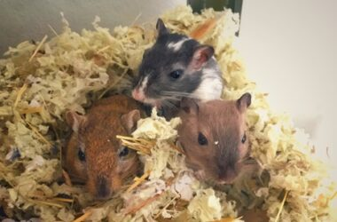 how often do you have to clean out a gerbil cage?