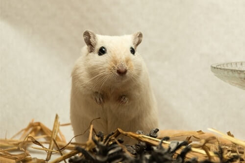 how to clean a gerbil cage