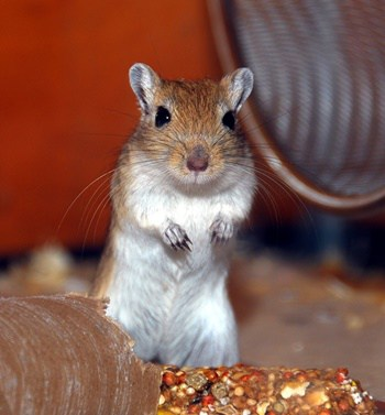 how to get rid of gerbils