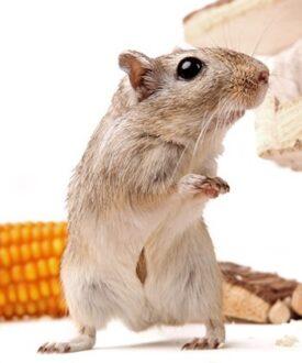 how to teach your gerbil tricks