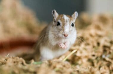 how to tell the difference between a gerbil and a mouse