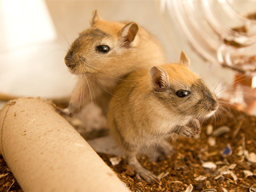 how to tell which gerbil is dominant