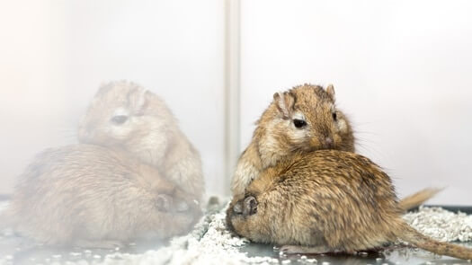 introducing gerbils without split cage