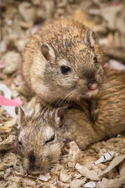 signs gerbils are fighting
