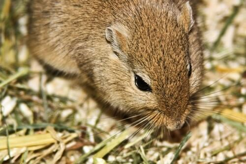 symptoms tyzzer's disease in gerbils